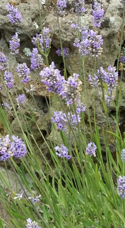 Flores de lavanda a la orilla de una piedra